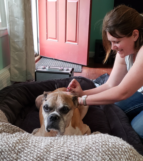 Acupuncture for Boxer Dog